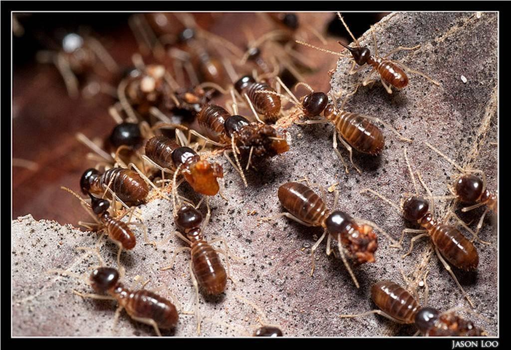 Термиты - что это такое? где обитают термиты и чем они питаются?