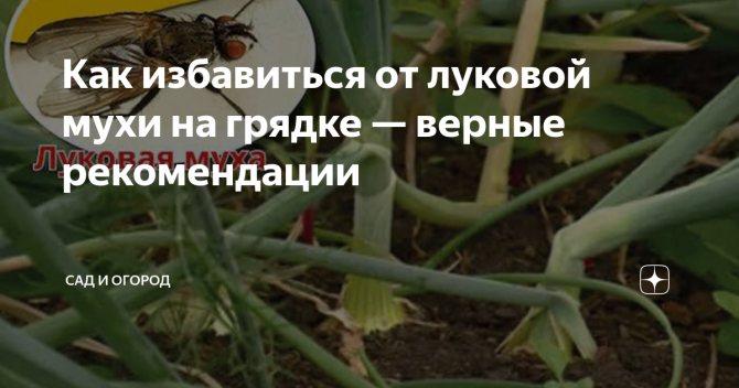 Луковая муха: как с ней бороться, народным средствами, чем обработать