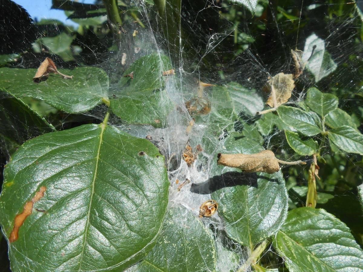 Паутинный клещ: как бороться на комнатных растениях, в теплице и на рассаде