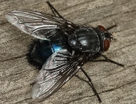 Яйца и личинки мух: фото и описание