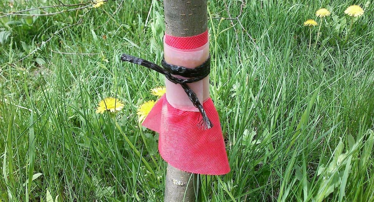 Как сделать ловчий пояс для плодовых деревьев своими руками от муравьев и тли