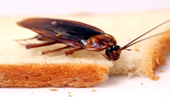 Методы борьбы с рыжими тараканами