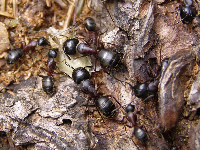 Древесные муравьи: как избавиться от древоточцев в деревянном доме