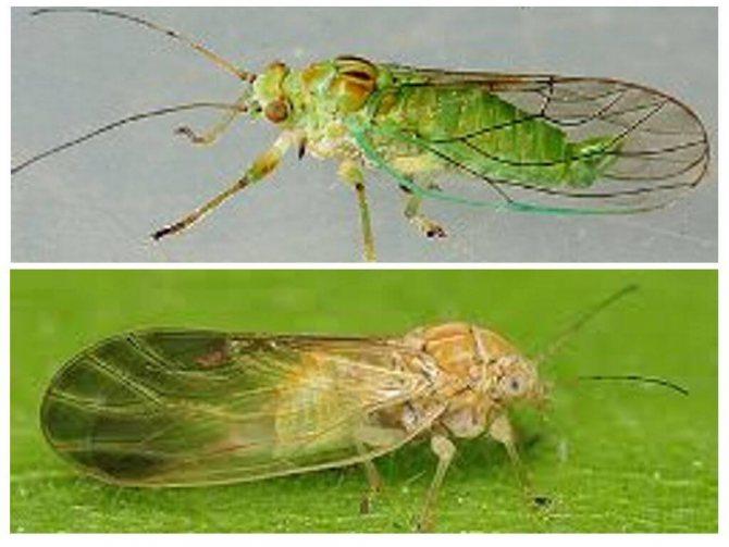 Травяные блохи: как вывести неприятных паразитов из квартиры
