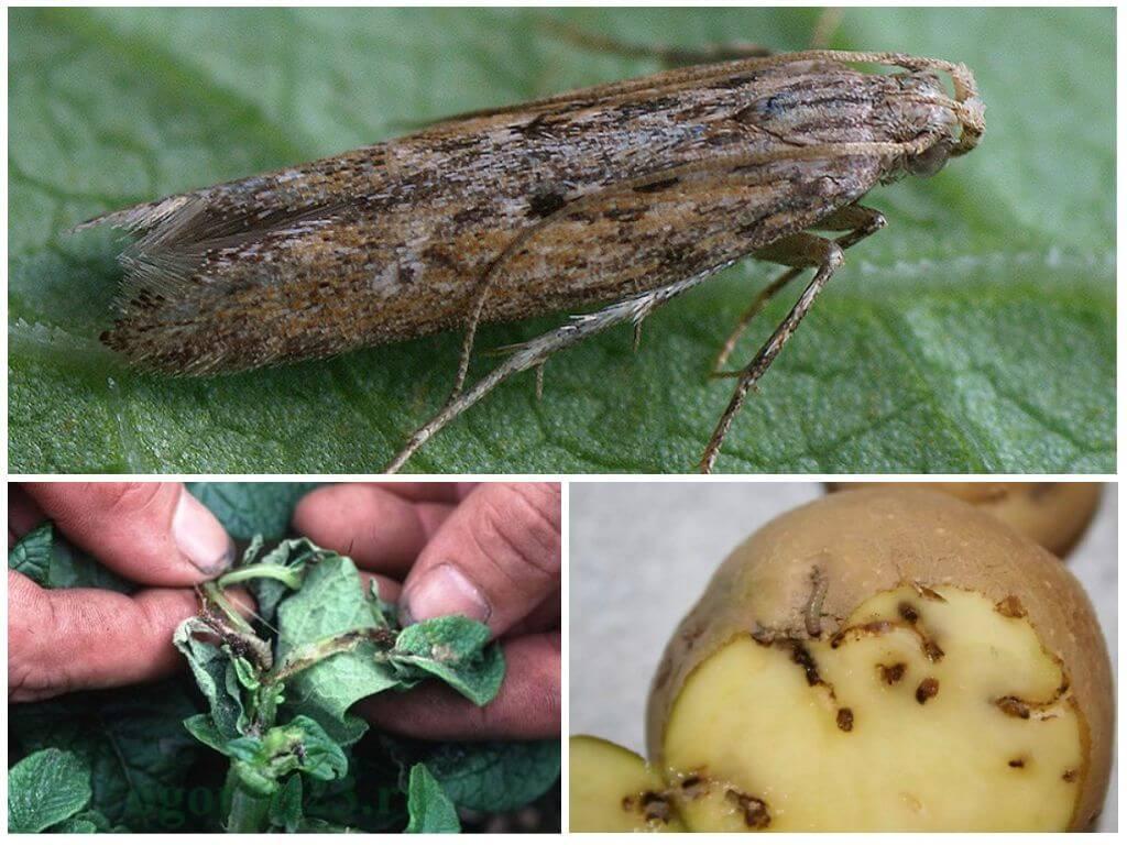 Как бороться с картофельной молью | вырасти сад!