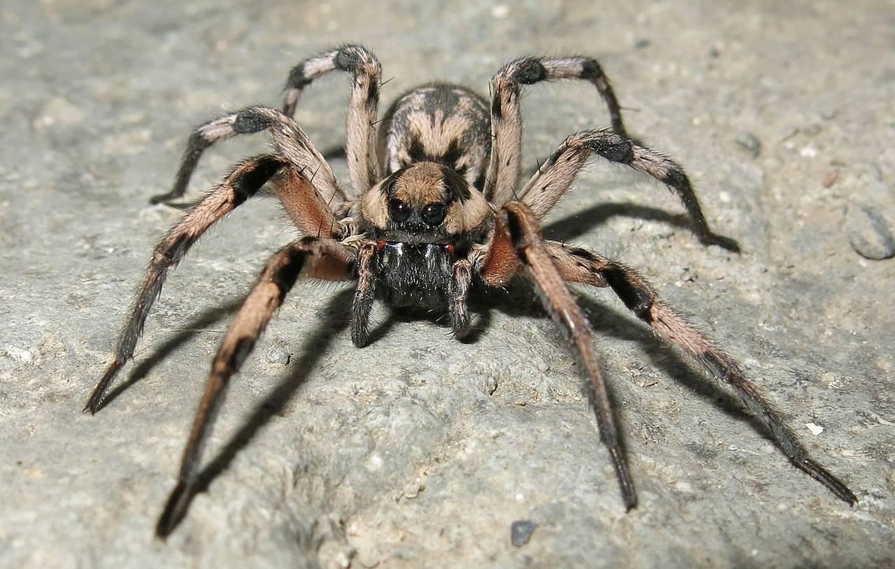 Южнорусский тарантул (мизгирь) – фото, описание, ареал, питание, содержание