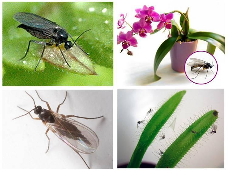 Мошки в орхидеях: как избавиться и спасти растение