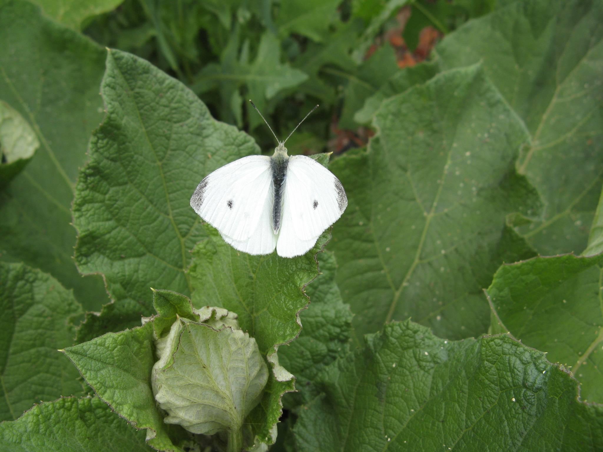 Бабочка капустница
