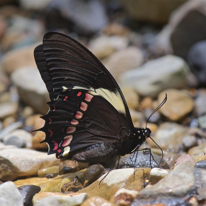 Бабочка подалирий – парусник российских широт