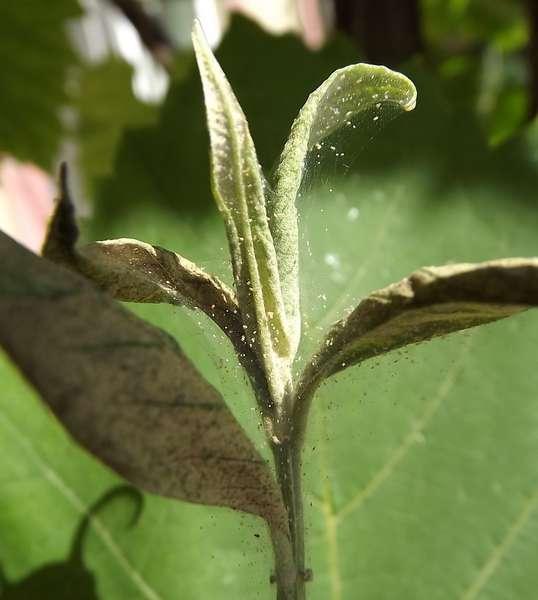 Паутинный клещ на яблоне: причины появления, как бороться