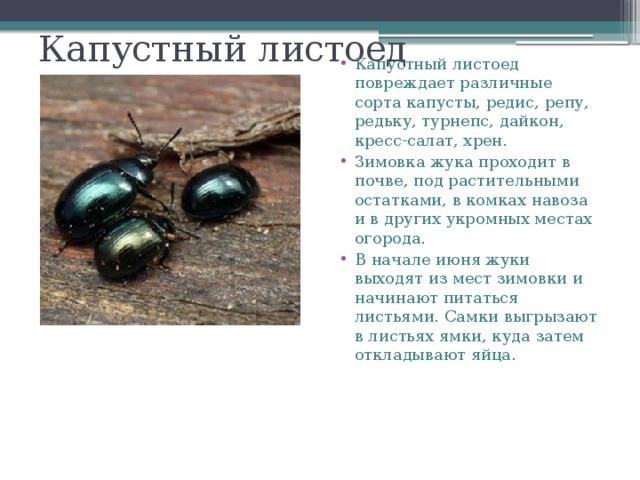 Вредители капусты с фото и способы борьбы с ними | образцовая усадьба