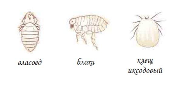 Блохи у морских свинок: проведение диагностики, симптомы, способы выведения, профилактические меры