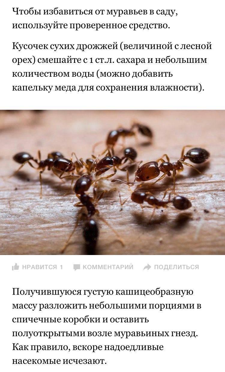 Как избавиться от домашних муравьев быстро и навсегда: советы профессионалов