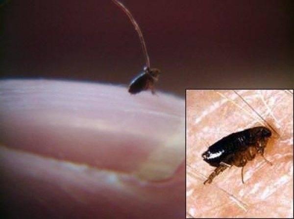 Как размножаются блохи: виды, образ жизни, развитие