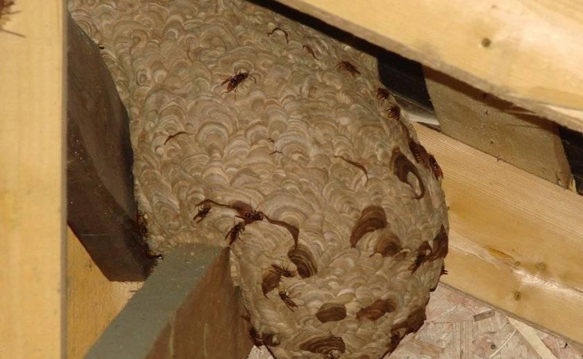 Эффективные методы и средства для избавления от шершней в доме и на даче