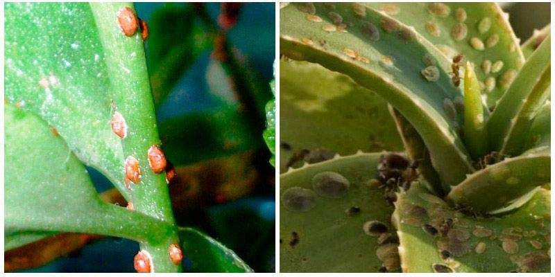 Вредители орхидей фаленопсис и лечение с фото: как выглядят паразиты?