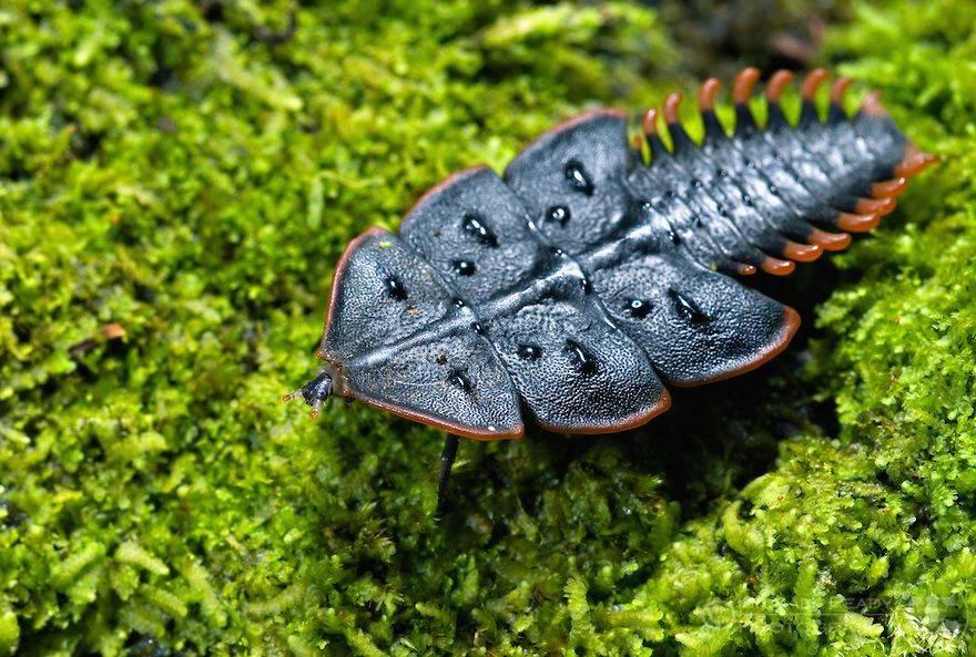 Жук-трилобит – необычный обитатель азиатских лесов под прицелом микроскопов