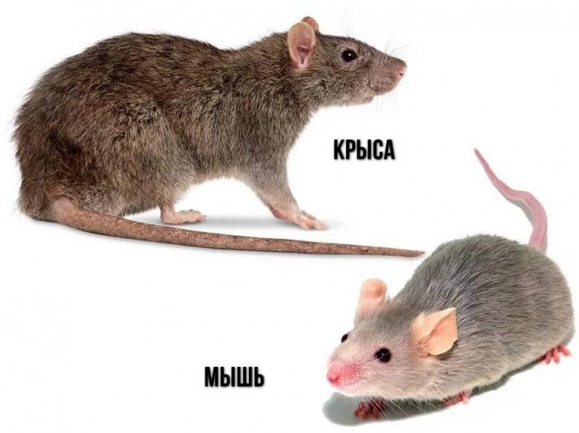 Кудрявые крысы «рексы» - особенности породы - люблю хомяков
