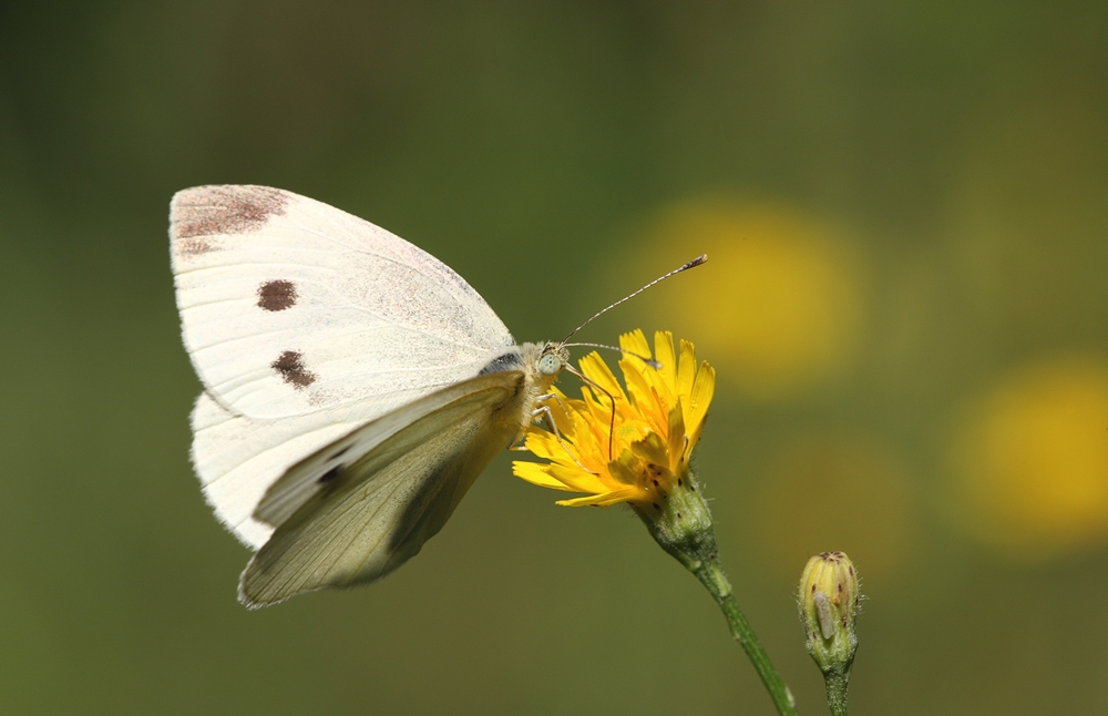 Бабочка капустница в природе и огороде