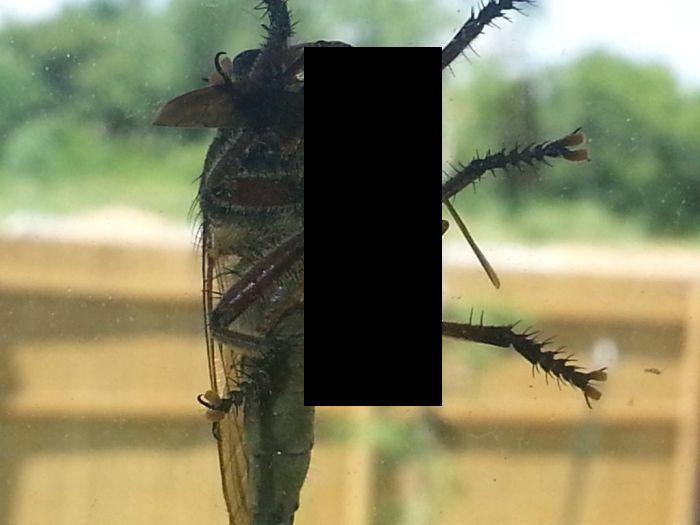 Пикирующий ктырь. чего мы незнали обольшой хищной мухе