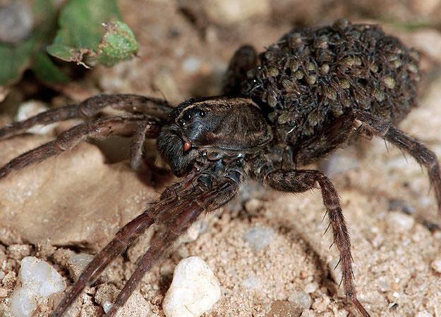 Жители альпинария (пауки-волки) | клуб любителей муравьев