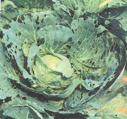 Чем полить капусту от мошки: народные средства - домашние наши друзья