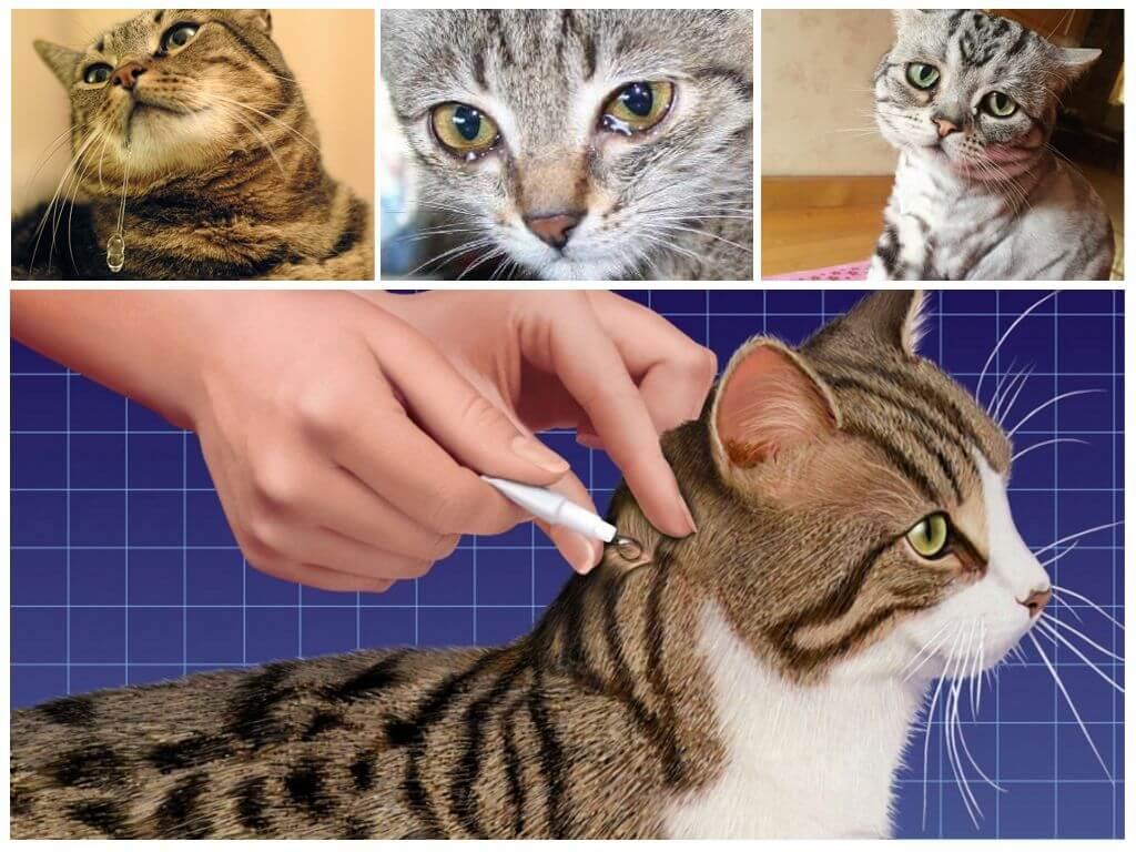 Кот или кошка слизала капли от блох – что делать