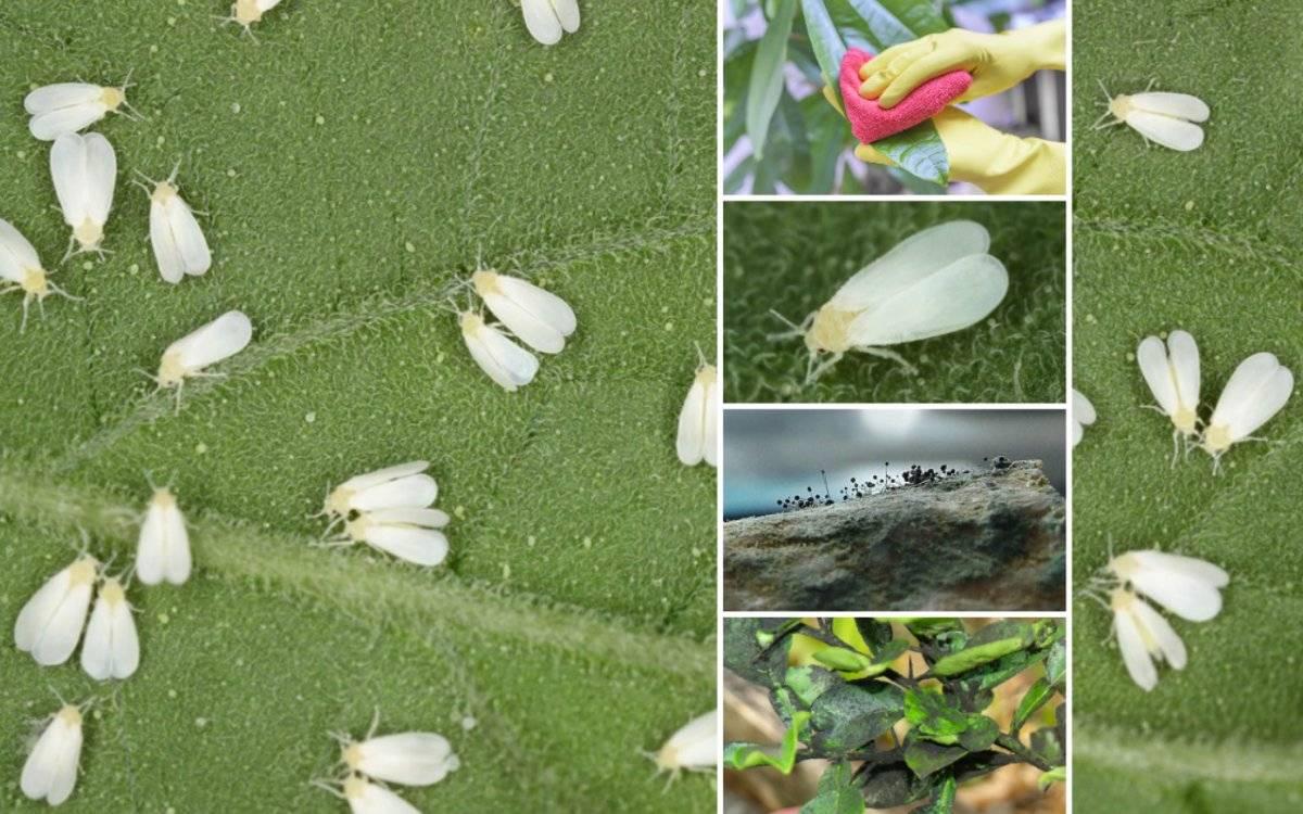 Борьба с белокрылкой в открытом грунте: избавляемся от насекомого навсегда