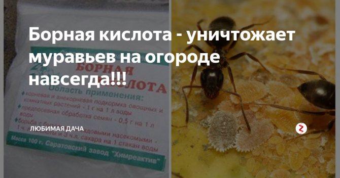 Борная кислота от муравьев: рецепты, эффективные методы