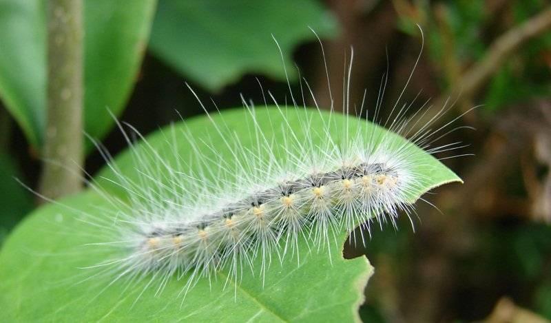 Американская белая бабочка: описание, причиняемый вред и методы борьбы | огородники