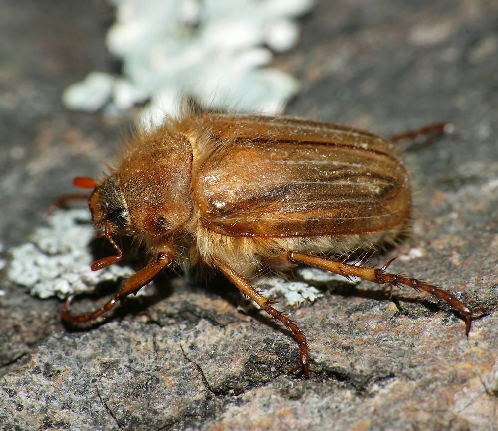 Йод от личинок майского жука. вред для растений | дачная жизнь