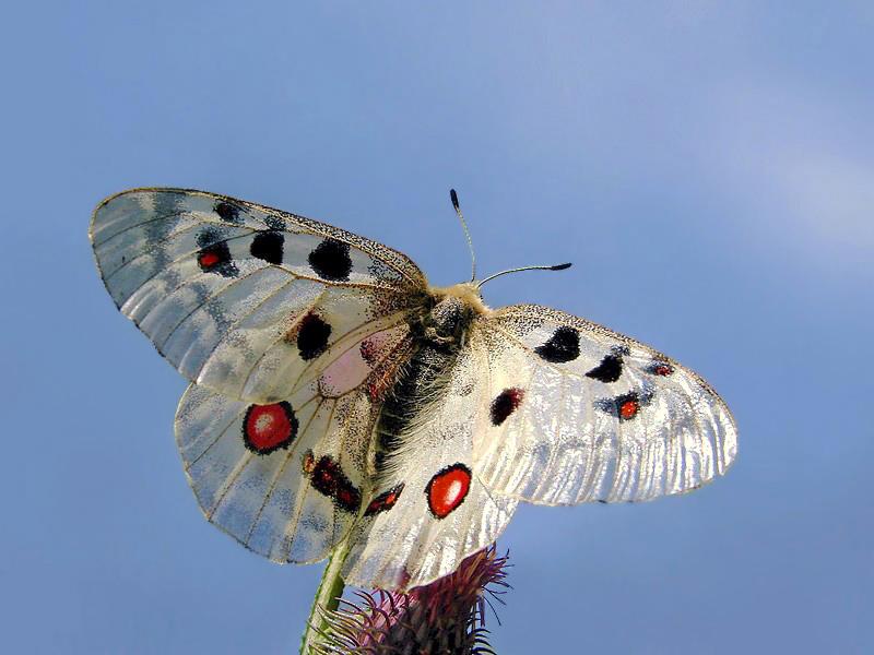 Аполлон (бабочка) — википедия