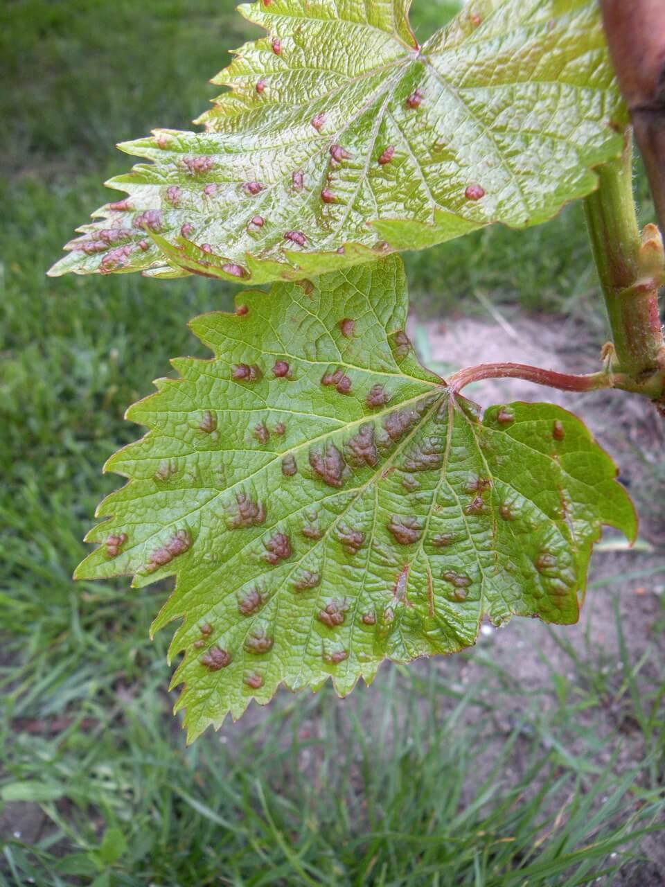 Паутинный клещ на винограде: топ лучших методов борьбы с фото
