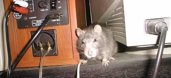 Как убить мышь разными способами 2021