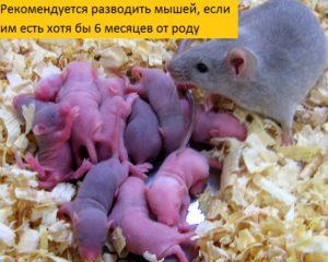 Беременность мышей - сколько длится, сколько мышат рожает мышь в домашних условиях