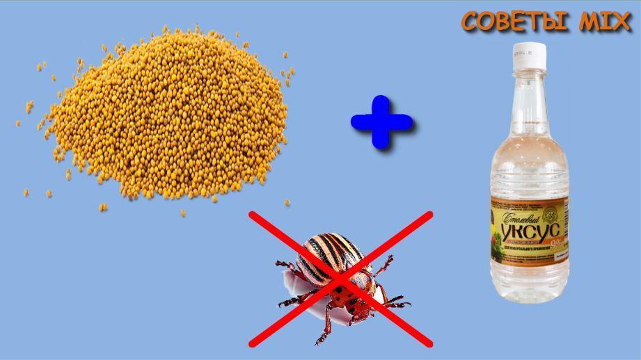 Действенный и безопасный, или как применять столовый уксус от колорадского жука? русский фермер