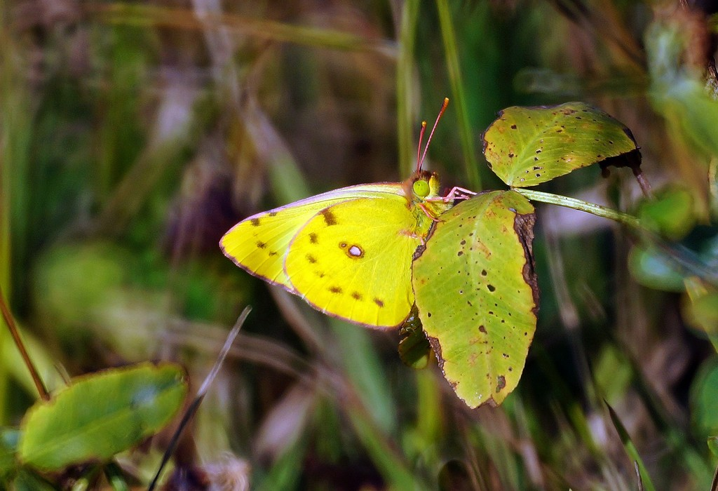 Бабочка желтушка луговая – любительница клевера и люцерны. бабочка желтушка — описание, среда обитания, виды желтушка луговая