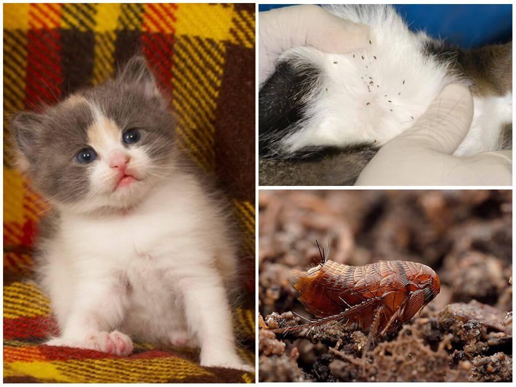Как избавиться от блох у кошки в домашних условиях, народные средства