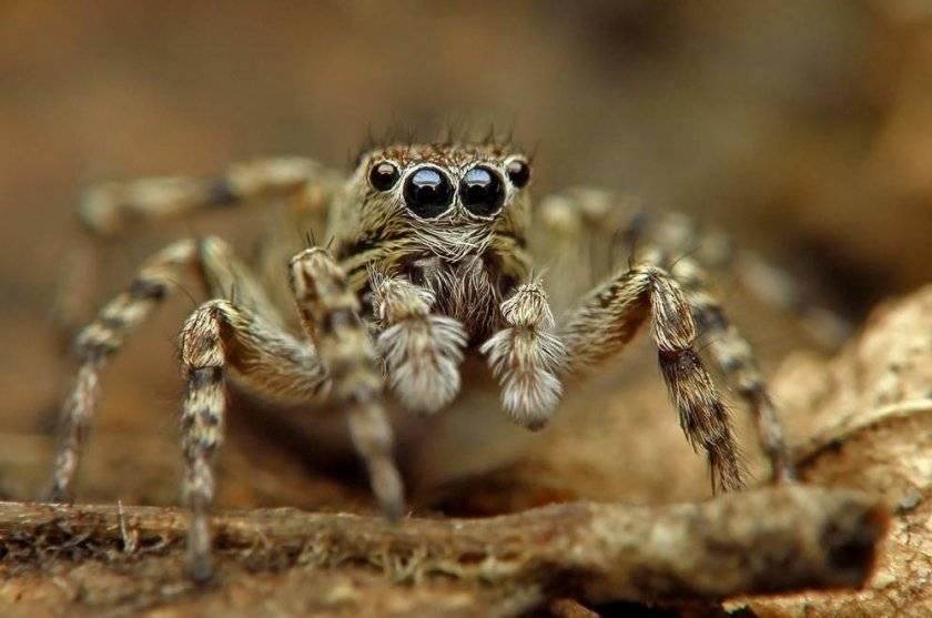 Паук кругопряд: рогатый или шипастый паук - где обитает и чем опасен?