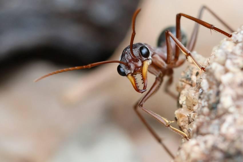 Красные огненные муравьи