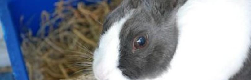 Блохи у кроликов - как вывести в домашних условиях