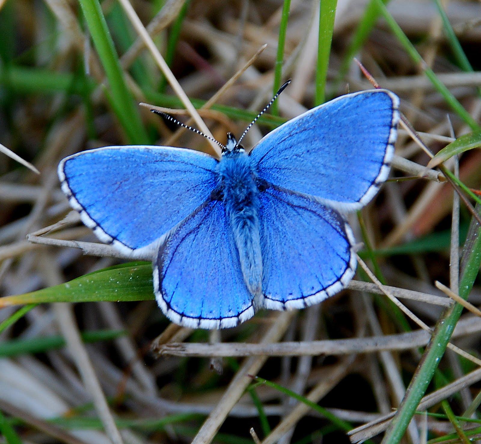 Голубянки, lycaenidae (семейство)