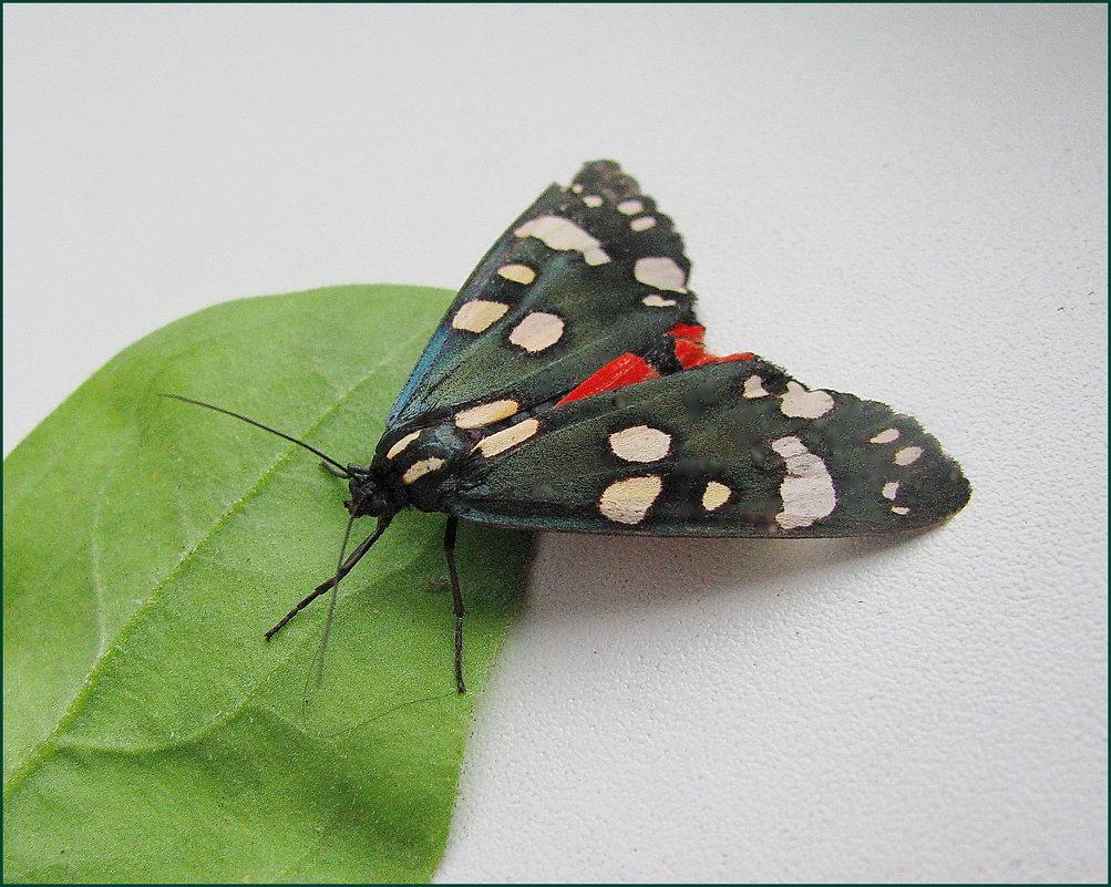 Перламутровка большая — крупная желтовато-оранжевая бабочка с тёмными точками и полосками на крыльях