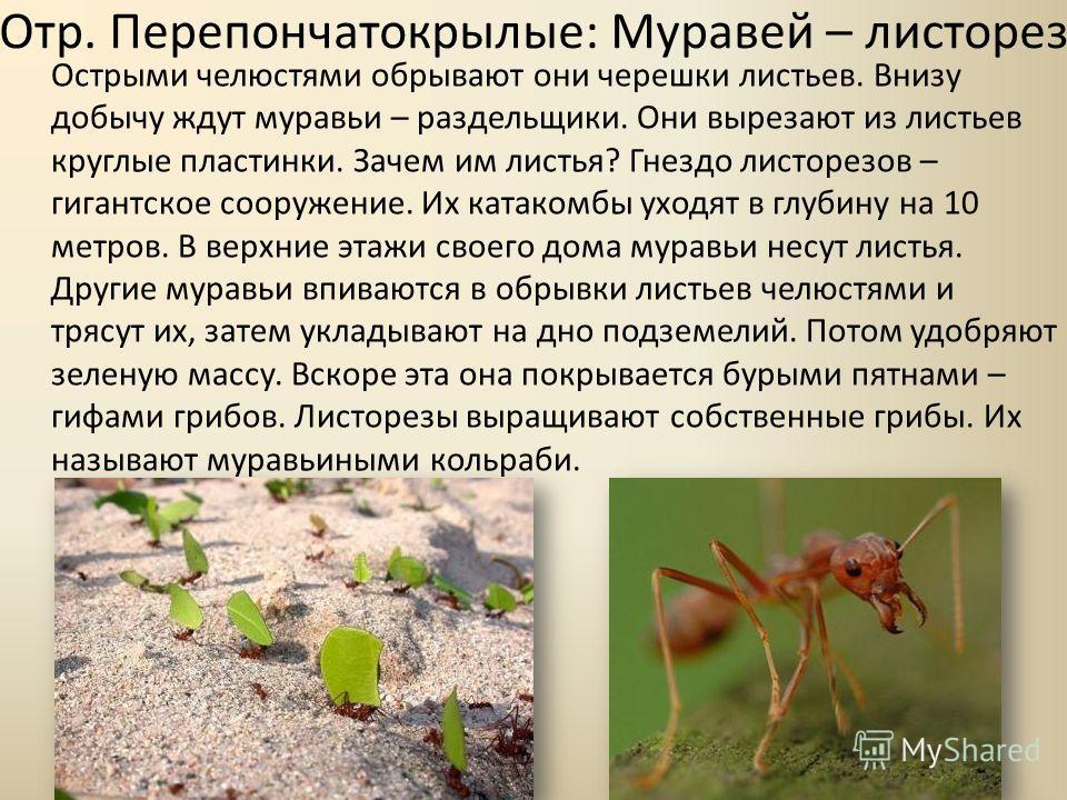 Муравьи листорезы - фото и описание