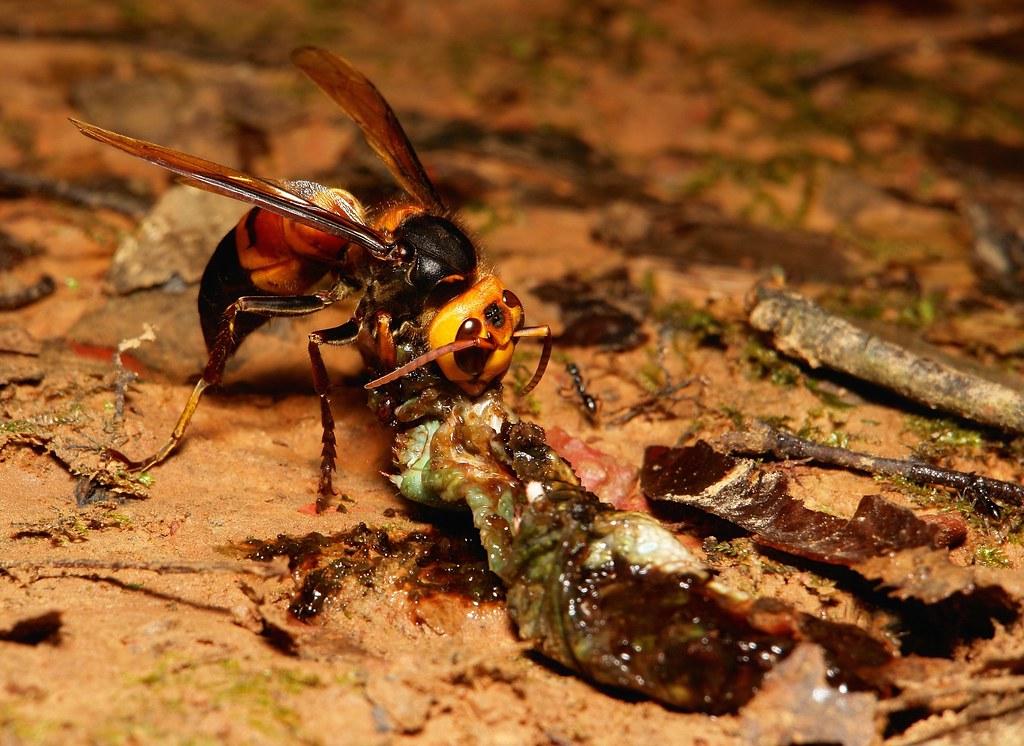 Шершень обыкновенный (vespa crabro): описание вида, чем питается, укус и последствия, фото крупной осы