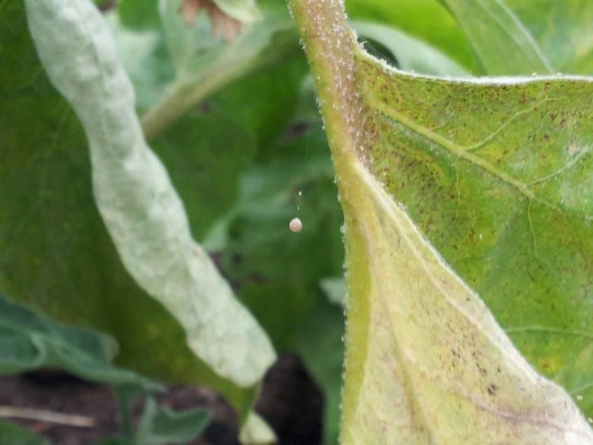 Паутинный клещ: симптомы поражения растений, народные методы борьбы паутинный клещ: симптомы поражения растений, народные методы борьбы