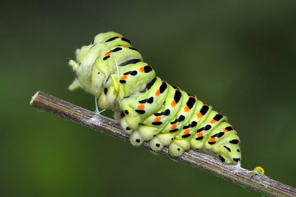 20волшебных преображений: самые необычные бабочки иихгусеницы