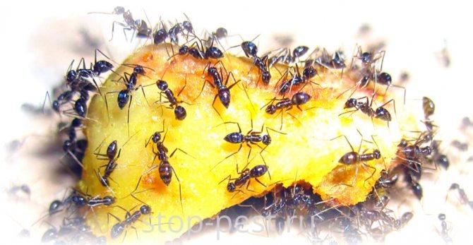 Как избавиться от муравьев на дачном участке раз и навсегда