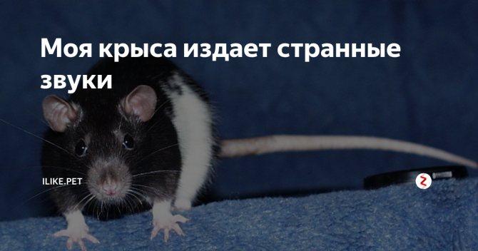 Крыса тяжело дышит, хрюкает или задыхается. как помочь любимому питомцу?