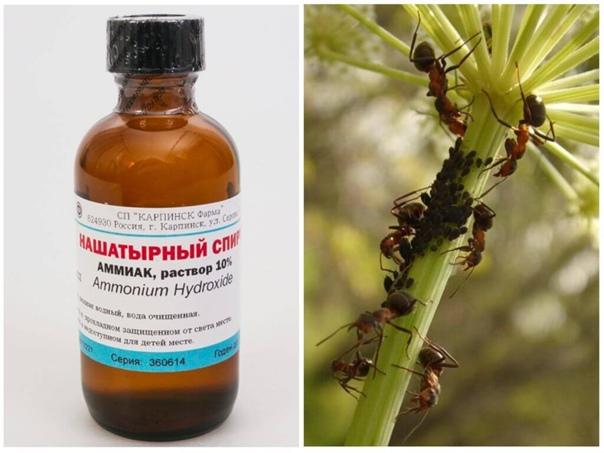 Борьба с садовыми муравьями нашатырным спиртом